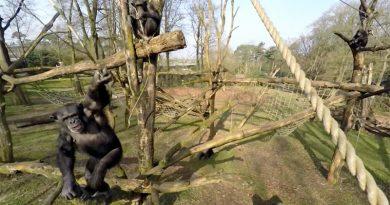 Chimpansee slaat drone uit de lucht