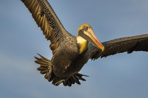 Een volwassen pelikaan kan tot wel 15 kg wegen