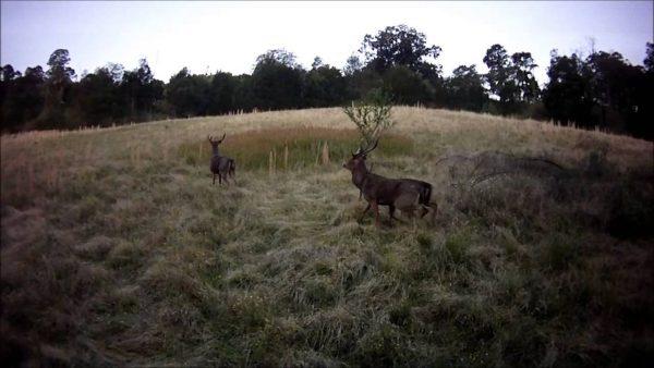 Herten gefilmd door een drone